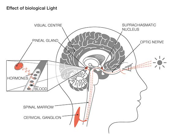 Биологический свет